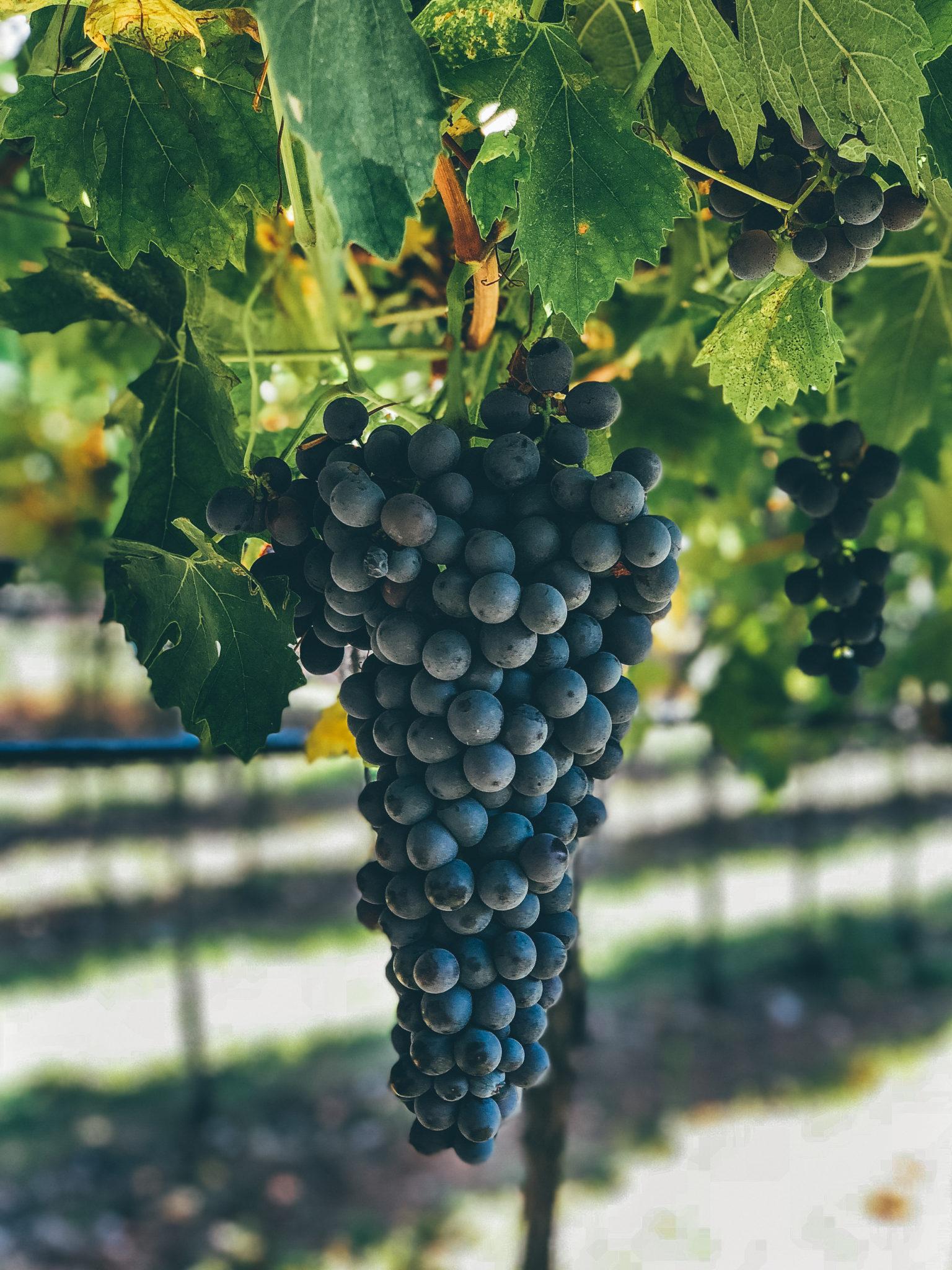 Marco Cottini uva